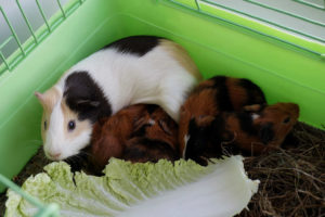 guinea pig play area