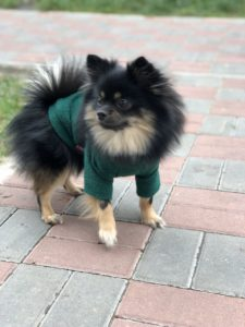 pomeranian dog food