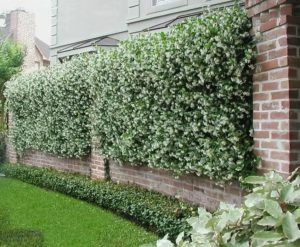 green hedge