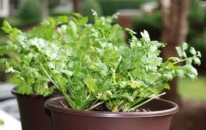 grow cilantro indoors