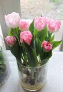 growing tulips in pots