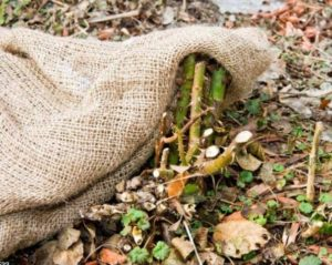 Cover the rose bushes for the winter with burlap