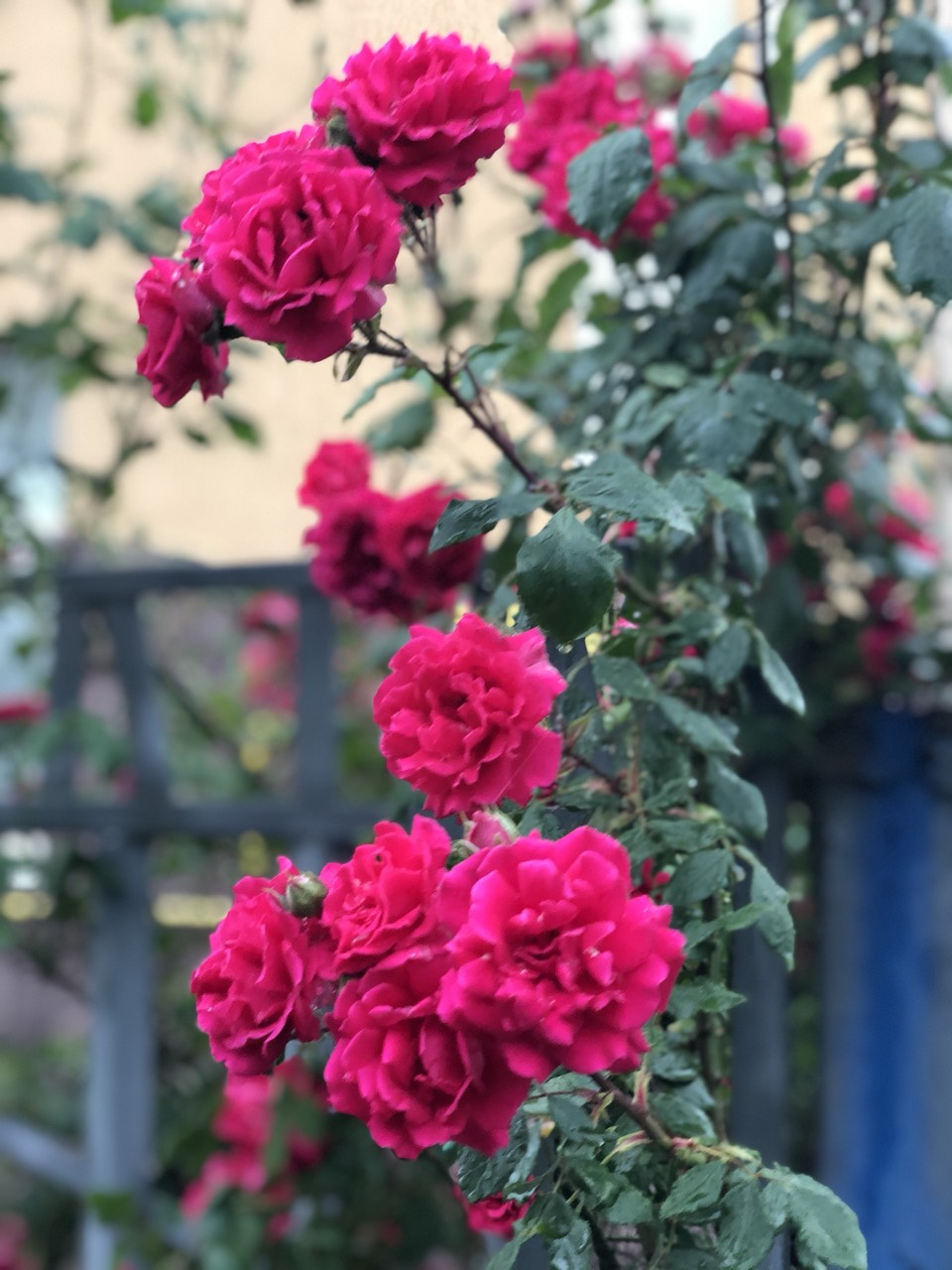 What to do with roses in winter
